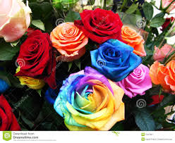 colorful roses colorful roses in bloom stock image image of angle flowering