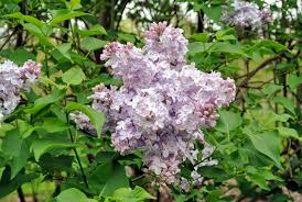 Lilac Flower by My Blooming Lilacs The Martha Stewart Blog