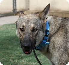 belgian shepherd dog rescue jaegar adopted dog phoenix az belgian malinois german