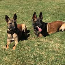 belgian malinois energy the belgian malinois as a family protection companion with the