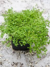 herbs planter dividing herbs hgtv