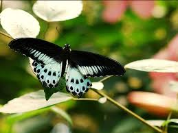 mumbai u0027s national park has more butterfly species than all of the