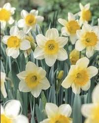 leaves daffodils daffodil leaves photo picture definition
