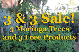 moringa trees for sale