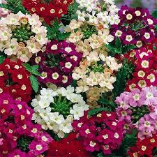 verbena flower verbena mammoth flower seed mix annual flowers