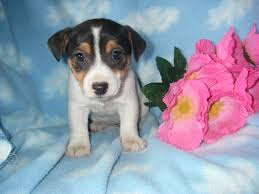 australian shepherd jack russell mix countryside puppies