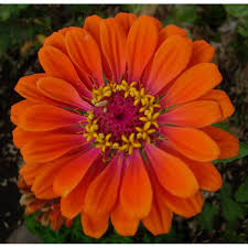 Flower Seeds Online - zinnias seeds how to plant grow buy zinnia flower seeds online
