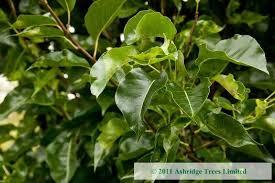 pyrus calleryana chanticleer for sale ornamental pears