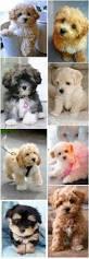 best 25 cutest small dog breeds ideas on pinterest cute small