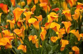 Calla Lily Flower Calla Lilies 21009 2750x1800 Px Hdwallsource Com