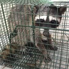 los angeles raccoon removal services wildlife