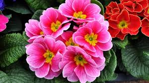 Pink Primrose Flower - primrose flowers u0026 nature background wallpapers on desktop nexus