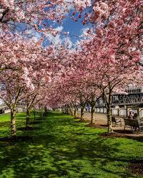 starbucks sakura blossom beverages are as gorgeous as cherry