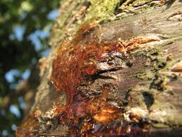 file resin on a cherry tree jpg wikimedia commons