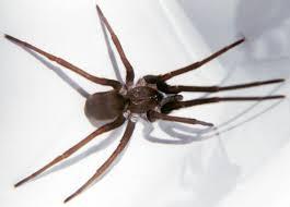 florida nature kukulcania hibernalis southern house spider