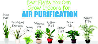 Plants For Office Air Purifying Plants For Office And Home Miltons Matsemela