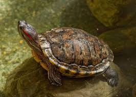 the trouble with turtles paleontology at a crossroads earth