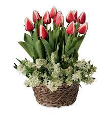 of bethlehem flower tulips and mini of bethlehem pre planted flower bulb gift