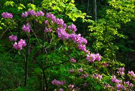 native plants in landscape management kentucky native plant and wildlife plant of the week catawba