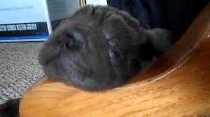 cutest mini blue bear coat shar pei puppy snoring youtube