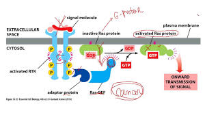 ch16 cell signaling 3 enzyme coupled receptor youtube