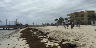 seaweed in cancun update on the cancun seaweed situation