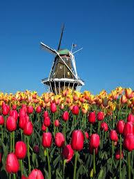 best 25 tulip season ideas on pinterest pink tulips flora and