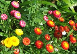 straw flowers strawflower witches magickal flowers and herbs