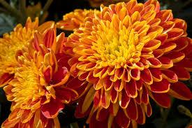 mums flower evenimages com mum flower photos chrysanthemum pictures even