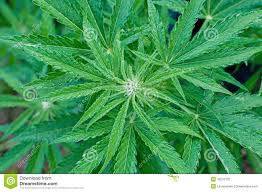 cannabis flower cannabis plant at early flowering stage stock photo image 42276102