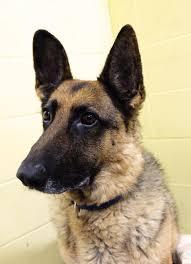 belgian sheepdog alberta city of grande prairie alberta animal services