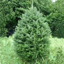 bl christmas trees christmas trees grower u0026 wholesaler mail order