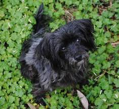 affenpinscher havanese mix wei chi the senior powder puff chinese crested mix u0027s web page