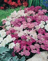 72 best collection images on pinterest flower seeds cut flowers