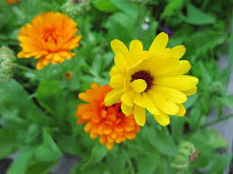 a flower you shouldn t remember to grow some edible flowers toronto gardens