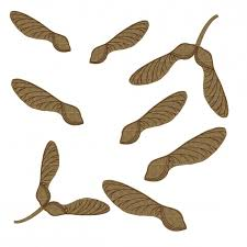 maple tree seeds helicopters