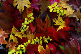 predicting fall color autumn leaf display