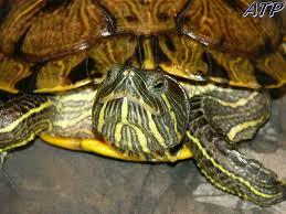 Texas Map Turtle Desktop Wallpaper