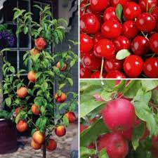 buy patio fruit tree collection 3 trees 1 of each variety from