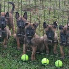 belgian malinois quotes mbp belgian malinois get quote pet training 8282 county rd