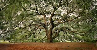 amazing great oak tree in majestic garden
