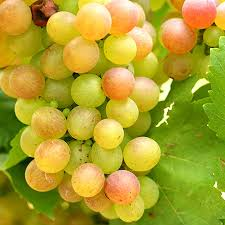 Grape Trellis For Sale Triumph Muscadine Grapes For Sale Fast Growing Trees