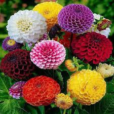 zinnia flower 200pcs beautiful mixed color zinnia flower plant seeds garden