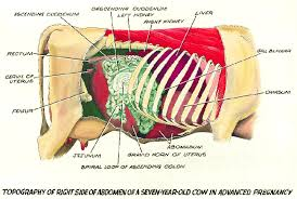 Right Side Human Anatomy Topography Of Right Side Of Abdomen Of Pregnant Cow Cattle