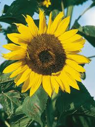 types of sunflowers hgtv