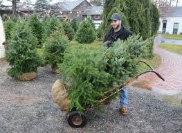 live christmas trees live christmas trees greenest choice but far from most popular