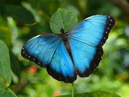 blue morpho butterfly top view outer wing is brown pattern