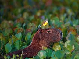 capibara wallpaper and background animals town