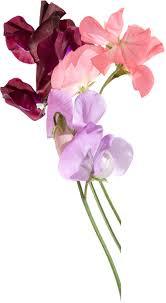 sweet pea flowers sweet peas image goodbye blissful pleasure departure in