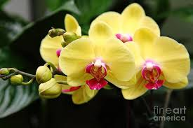 yellow orchids yellow orchids 5d22432 photograph by wingsdomain and photography